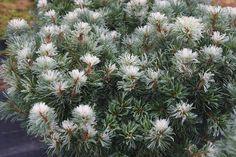 Maybe the pine tree isn't boring. Pinus parviflora 'Tanima no yuki'