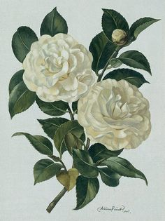 The white camellia given to gym by Mrs Dubose, was a symbol of understanding and courage between the two. The White camellia was a was for Mrs Dubose to show Jem that not everything is as it seems and you must first understand before you judge. When Jem cut off the tops of the flowers it was like him just judging Mrs. Dubose as a cranky old lady. But when she told him that to kill the flower you must get the roots it was like her telling him to really get to understand a person before you…