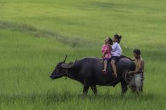 Carabao riding - The young girls are riding on the carabao in ricefield