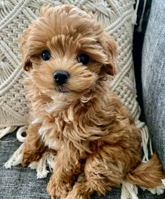 Whoodle Puppies For Sale, Whoodle Puppy, Mini Puppies, Goldendoodle Puppy For Sale, Cute Dogs And Puppies, Teacup Maltipoo For Sale, Maltipoo Dog, Teacup Puppies For Sale, Teacup Maltese
