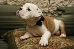 bulldog pup plus bow tie. Cute Puppies, Cute Dogs, Dogs And Puppies, Doggies, English Bulldog Puppies, English Bulldogs, Bulldog Pics, French Bulldogs, Dog Lady