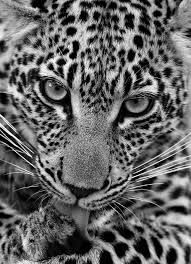 Image result for leopard photography