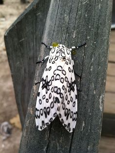 It's not just felines who are dotty for spots...take this big leopard moth, for instance! (via Suzy's Zoo Sanctuary for FeLV Positive Kitties)