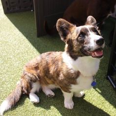 """kipperthecorgi: """"Kelpie seemed to have a good day at daycare, she's been sleeping since we got home. Corgi Husky, Grain Free Dog Food, Cardigan Welsh Corgi, Best Dog Food, Pictures To Paint, Little People, Good Day, Animals And Pets, Your Dog"""