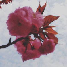 八重桜 #landscape