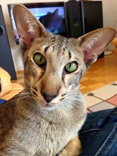 The Oriental Shorthair is a breed of domestic cat that is developed from and closely related to the Siamese cat. It maintains the modern Siamese head and body type but appears in a wide range of coat colors and patterns. Pretty Cats, Beautiful Cats, Animals Beautiful, Cute Animals, Animals Images, Kittens Cutest, Cats And Kittens, Cats Bus, Oriental Shorthair Cats