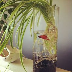 Do you have any ideas about terrarium? To make the Terrarium there's not sure rule and size. Terrarium Diy, Terrariums, Water Terrarium, Terrarium Containers, Betta Fish Bowl, Betta Fish Tank, Beta Fish, Fish Tanks, Plant Images