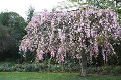 Pink Flowering Trees {Garden}