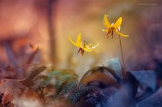 Trout Lilies by Magda Bognar on 500px