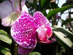 Phalaenopsis Orchid. http://www.facebook.com/events/132484000213913/ http://www.americanplant.net/