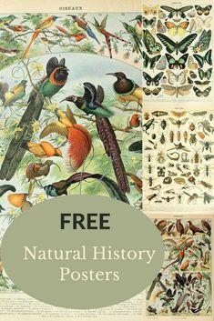 Vintage Birds, Vintage Prints, Vintage Posters, Vintage Ephemera, History Posters, Nature Posters, Free Printable Art, Free Printables, Bird Poster