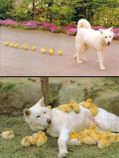 Dog daddy has little ducks or chickens or little cute yellow fuzzy creatures following him. #SoCuteTooCute
