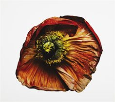 IRVING PENN  Iceland Poppy, New York,2006.  Pigment ink print. Signed, titled, dated, initialed twice in ink, Irving Penn. Credit: courtesy Vogue. One from an edition of 9.