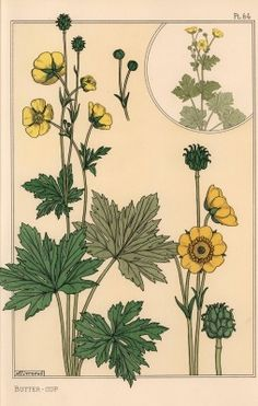 Buttercup botanical study. Lithograph by M. P. Verneuil with pochoir (stencil) handcoloring from Eugene Grasset's Plants and their Application to Ornament, Paris, 1897. Eugene Grasset (1841-1917) was a Swiss artist whose innovative designs inspired the art nouveau movement at the end of the 19th century. - stock photo
