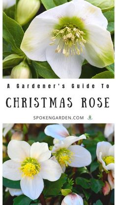 Care for your Christmas Rose (Helleborus niger) in your winter garden this gardener's guide of these beautiful perennials, including plant care, companion plants, and more. garden party Learn How to Care for Christmas Rose in Your Winter Garden Fall Vegetables, Planting Vegetables, Growing Vegetables, Fruit Plants, Edible Plants, Poisonous Plants, Indoor Gardening Supplies, Container Gardening, Christmas Rose