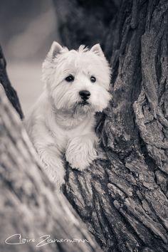 west highland white terrier Más