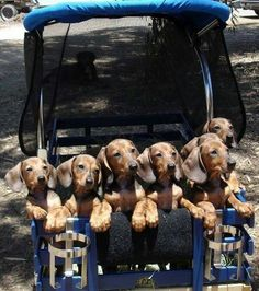 Wow! What a litter of doxies! Doxie's Oh My!