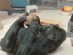Image result for gorilla with pet kitten