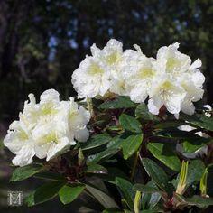 Japaninalppiruusu `Alli´ R. x nikomontanum White Flowers, Garden, Plants, Veggies, Garten, Lawn And Garden, Gardens, Plant, Gardening