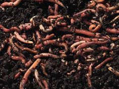 500 gram pack of composting worms for use in the 'Hungry Bin' wormery. 500G is approx 1500 - 2000 worms depending on the size of the worms. The 500 gram pack can also be used to re-start a disused Worm Works wormery or any other worm farm.  #worm #compost #montydon #wellness #organic #wormery