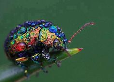 The most glamorous beetle in all the land! Chrysolina cerealis, also known as the rainbow leaf beetle Cool Insects, Bugs And Insects, Weird Insects, Beautiful Bugs, Amazing Nature, Beautiful Creatures, Animals Beautiful, Leaf Beetle, Beetle Bug