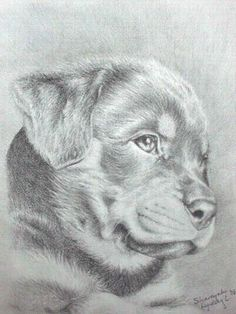 pencil drawing of rottweiler | pencil drawing of rottweiler puppy Photos from shareyah crofchick ...