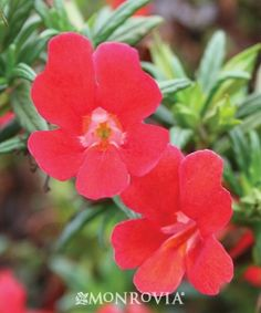 Monrovia's Curious™ Red Monkey Flower details and information. Learn more about Monrovia plants and best practices for best possible plant performance.