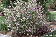 7. Struikmalva/ lavatera - Lavatera thuringiaca barnsley   Plant habit, flowering Main Page Next Info