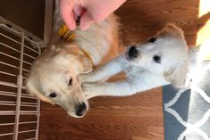 Must obtain the treat by any means necessary Adorable Puppies, Cute Dogs, Cute Funny Animals, Funny Dogs, Doggies, Dogs And Puppies, By Any Means Necessary, Pure Joy, Golden Retrievers
