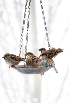 Sparrows - I love when they fluff up their feathers and look all pudgy, like the guy on the left.