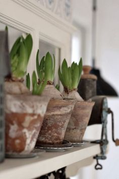 Hyacinth Bulbs in Terracotta Pots waiting for Spring .....