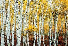 Birch forrest. Aspen Grove Yellow - plakat