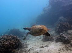 A Green Sea Turtle glides past the coral in American Samoa NP