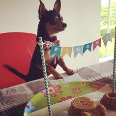Figaro, uno de nuestros clientes más chiquitos, se puso feliz en su cumpleaños porque la torta que le dieron era más grande que él!  Feliz Cumpleaños Figaro, que cumplas muchos más!  #PerroFeliz #chachayelgalgo #pasteleriacanina #paletasparaperros #amorperruno #mascotas #peluditos #perrosaludable #alimentacioncanina #YoCreoEnCali #pinscher #pincher #cumpleañoscanino #cali #calico #colombia