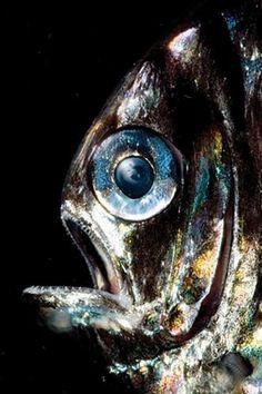 Argyropelecus sp.; Hatchet Fish (deep-sea fish)