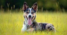 Australian Dog Breeds, Australian Bulldog, Australian Terrier, Australian Cattle Dog, Australian Shepherd, Miniature Fox Terrier, Silky Terrier, The Fox And The Hound, Wild Dogs