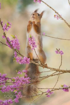 devotion - red squirrel standing on branch with lila flowers