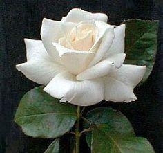 Pascali Hybrid Tea Rose