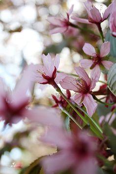 cherry blossom kirsikankukka kirsikkapuu cherry tree