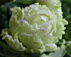 Image result for Russian African Violet 'RS Green Lagoon