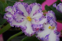 African Violet jane