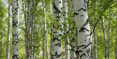 DOWNLOAD :: https://realistic.photos/article-itmid-1007694506i.html ... Spring Birch Trees ...  birch, environment, forest, grass, green, grove, nature, scenics, season, spring, summer, sunlight, tree, trunk, wood  ... Templates, Textures, Stock Photography, Creative Design, Infographics, Vectors, Print, Webdesign, Web Elements, Graphics, Wordpress Themes, eCommerce ... DOWNLOAD :: https://realistic.photos/article-itmid-1007694506i.html