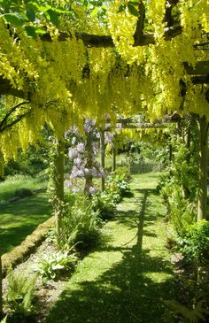 Heale Gardens, Hampshire,UK.Laburnum and wisteria arch. May.
