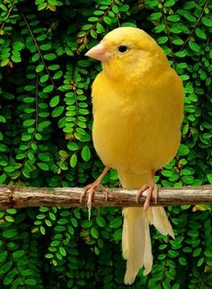 Canary- my mother's fave bird
