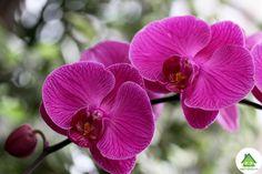 Новое на сайте Сад и Дача - Фаленопсис орхидея уход в домашних условиях http://sad-i-dacha.ru/falenopsis-orhideya-uhod-v-domashnih-usloviyah/