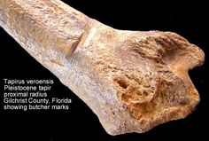 EVERYTHING ABOUT ARCHAEOLOGY: WHAT IS THE BUTCHER MARKS ?