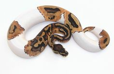Piebald Ball Python.  One day I will own one of these piebald.  They are awesome looking snakes!