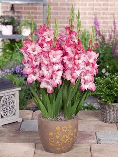 Gladiolus in pot Container Flowers, Flower Planters, Container Plants, Container Gardening, Flower Pots, Growing Flowers, Planting Flowers, Amazing Flowers, Beautiful Flowers