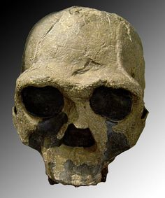 Homo ergaster Fossil material assigned to this hominid ranges from about to million years in age and was unearthed in eastern and southern Africa. This early human was first described by Groves and Mazak Homo Habilis, Homo Heidelbergensis, Theory Of Evolution, Human Evolution, Primates, Homo Sapiens Sapiens, Hominid Species, Early Humans, Ancient Civilizations