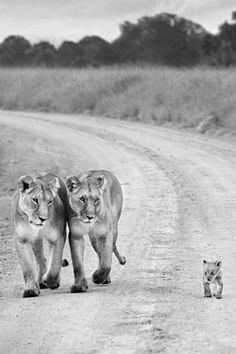 i love how both parents are watching the cub. too adorable